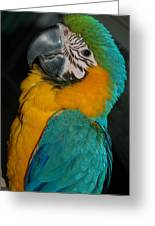 Tango, The Blue And Gold Macaw Greeting Card