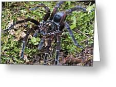Tarantula Pamphobeteus Sp Male, Mindo Greeting Card