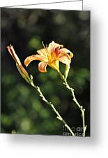 Tasmania Day Lily Greeting Card