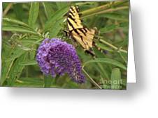 Tattered Tiger Swallowtail Butterfly          August         Indiana Greeting Card