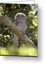 Tawny Frogmouth Greeting Card by Barry Culling