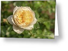 Tchaikovski Hybrid Tea Rose, White Rose Originally Produced By  Greeting Card
