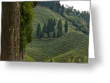 Tea Garden In Darjeeling Greeting Card