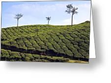 Tea Planation In Kerala - India Greeting Card