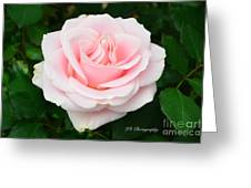 Tea Rose In Pink Greeting Card