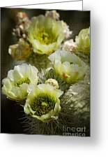 Teddy Bear Cholla-cylindropuntia Bigelovii Greeting Card