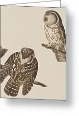 Tengmalm's Owl Greeting Card