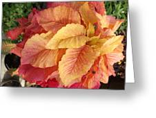 Tequila Sunrise Plant Greeting Card