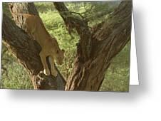 Terengeti Lioness Greeting Card