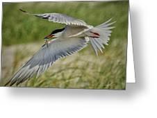 Tern Greeting Card
