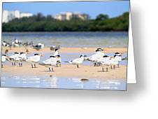 Terns At Fort Myers Greeting Card