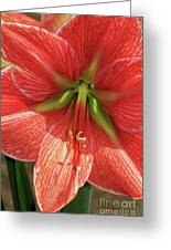 Terra Cotta Amaryllis Greeting Card
