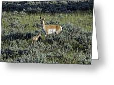 Teton Pronghorn Renewal Greeting Card