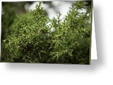 Texas Cedar Tree Greeting Card