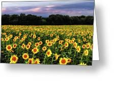 Texas Sunflowers Greeting Card by Robert Bellomy