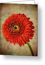 Textured Red Daisy Greeting Card