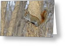 The American Red Squirrel Greeting Card
