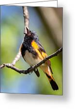 The American Redstart Greeting Card