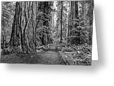The Beautiful And Massive Giant Redwoods Greeting Card
