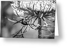 The Beetle Acrobat Black And White Greeting Card