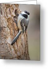 The Black Capped Chickadee Greeting Card