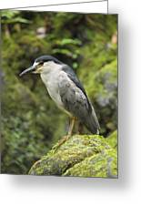 The Black Crowned Night Heron Greeting Card by Phil Stone