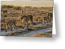 The Black Maned Lions Of The Kalahari Greeting Card