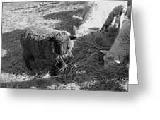 The Black Sheep Greeting Card