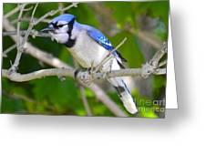 The Blue Jay Greeting Card by Stephanie  Varner