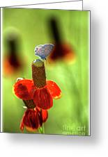 The Butterfly And The Coneflower Greeting Card