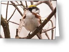 The Chestnut Warbler Greeting Card