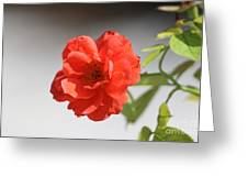 The Coral Rose Greeting Card
