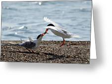 The Courtship Feeding - Series 2 Of 3 Greeting Card