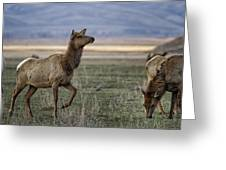 The Cow Elk Greeting Card