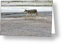 The Coyote - Dogs Are By Far More Dangerous Greeting Card