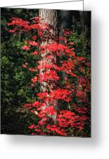 The First Maple Of Autumn Greeting Card