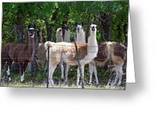 The Five Llamas Greeting Card