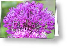 The Full Bloom Of Flowering Ornamental Onion Greeting Card