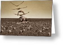 The Gathering - Sandhill Cranes Greeting Card