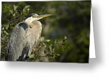 The Gaze - Great Blue Heron - Ardea Hernias Greeting Card