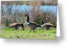 The Geese Are Back Greeting Card