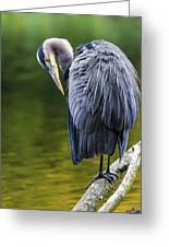 The Great Blue Heron Perched On A Tree Branch Preening Greeting Card