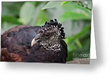 The Great Curassow 3 Greeting Card