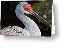 The Greater Sandhill Crane Greeting Card