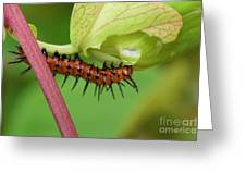 The Gulf Fritillary Caterpillar  Greeting Card