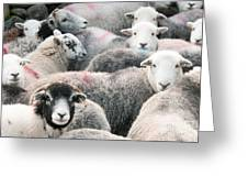 The Herdwicks Greeting Card