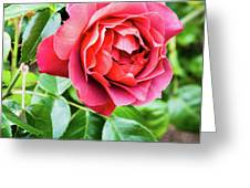 The Hot Cocoa Red Rose Greeting Card