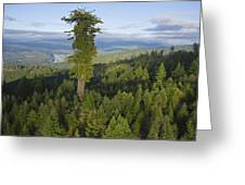 The Largest Patch Of Old Growth Redwood Greeting Card by Michael Nichols