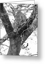 The Leopard's Stare Greeting Card