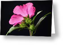 The Light Rose Of Sharon 2017 Square Greeting Card